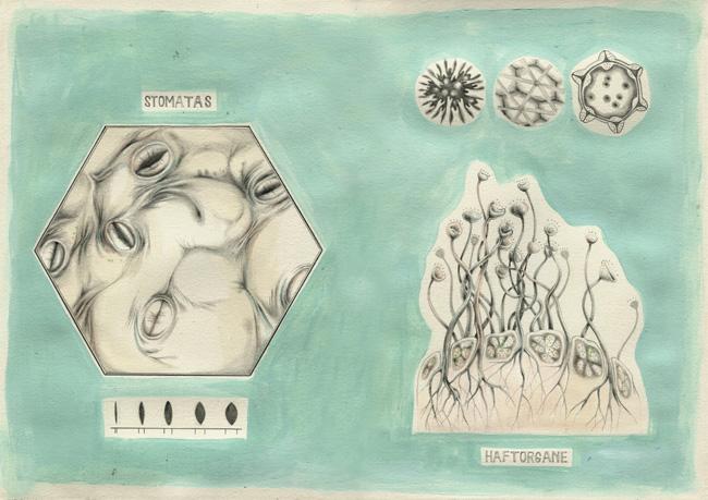 Links: Stomatas; rechts: Haftorgane
