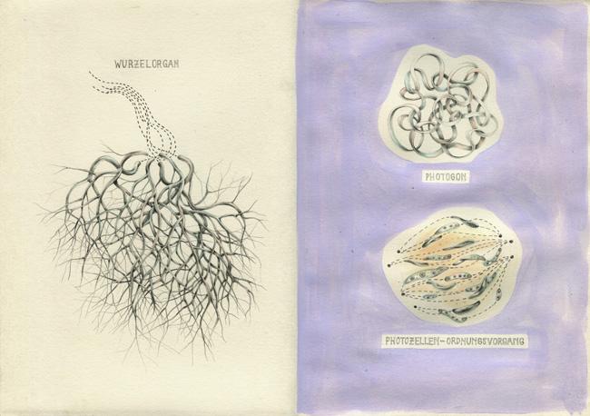 Links: Wurzelorgane; rechts: Photogone (oben), Photozellenordungsvorgang (unten)